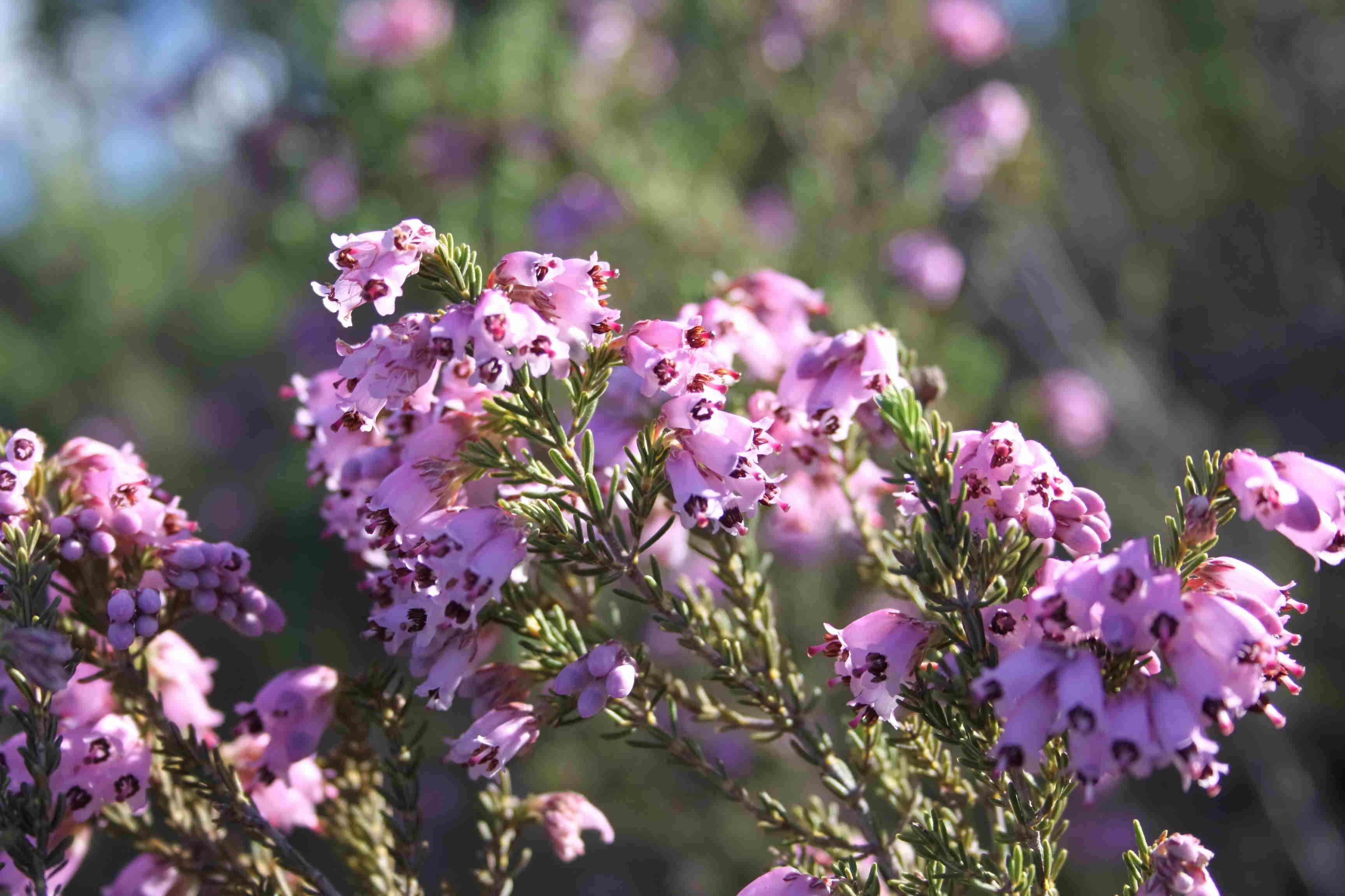 Brezo del Andévalo (Erica andevalensis) 1